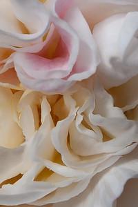 Camelia close-up