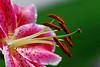 Oriental Lily, Stargazer Enjoy! ©2007 Daniel P Woods