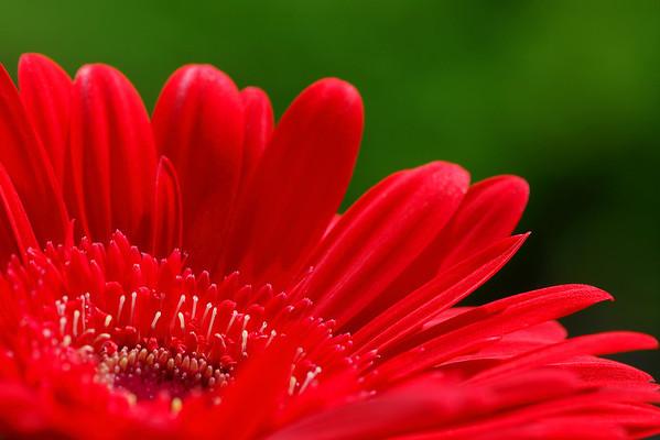 Red Gerber Daisy Enjoy! ©2007 Daniel P Woods