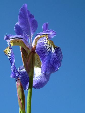 Iris Flowers Abstract