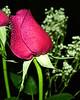 Rose photos. By Daniel P Woods