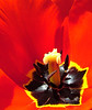 A few close up Tulip photos.  By Daniel P Woods