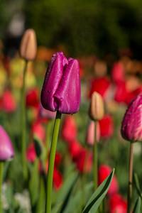 Tulips with Dew