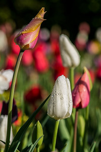 Tulips with Raindrops