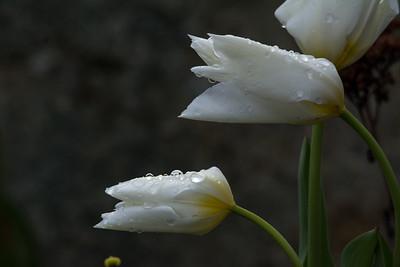 Serene White Tulips with Raindrops