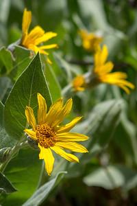 Yellow Mule Ear Flowers