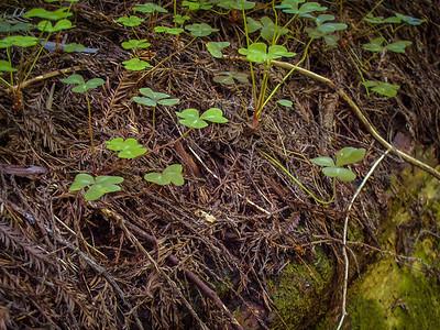 Shamrock on Fallen Old Growth Redwood Tree