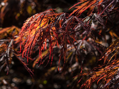 Red Dragon Weeping Laceleaf Japanese Maple