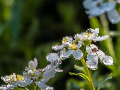 White Flower with Raindrips