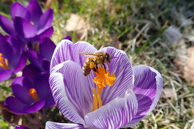 Crocus vernus and Apis mellifera