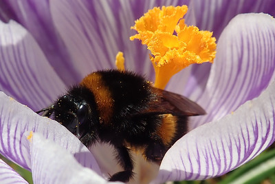 Crocus vernus and Bombus hortorum