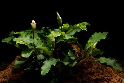 """Bucephalandra """"Wavy Green"""""""
