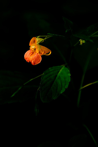 Taken during a late evening walk through the woods.  A single beam of sunlight was lighting this delicate flower.