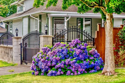 Look at those hydrangea blooms!