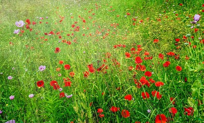 Wild poppies in a field of green.
