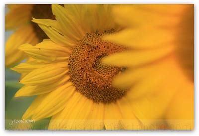 sunflower fingers crossed