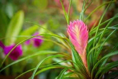The beautiful pink bloom of a Pink Quill bromeliad (Tillandsia cyanea), a tropical flowering perennial plant species native to the rainforests of Ecuador.