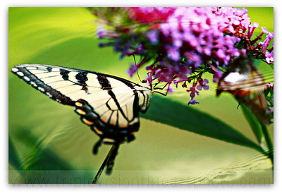 butterfly+waterIMG_3246-3535049521-O