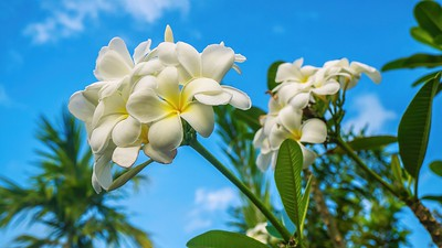 The beautiful, fragrant plumeria blossom, also known as frangipani.