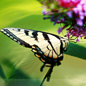 Nectar for the swallowtail