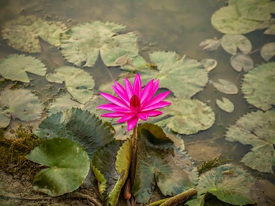 A single dark pink water lily (Latin - Nymphaea) blooming in a pond in the Angkor Wat temple complex in Cambodia.
