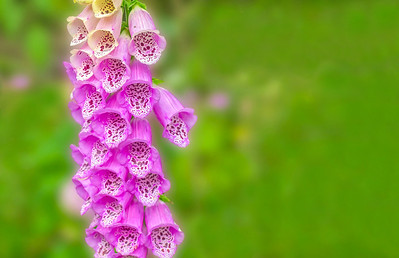 Pretty pink foxglove flowers in bloom - the pharmaceutical source of digitalis heart medication.