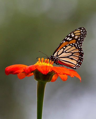 Monarch Butterfly (orange and black)  on a Zinnia flower