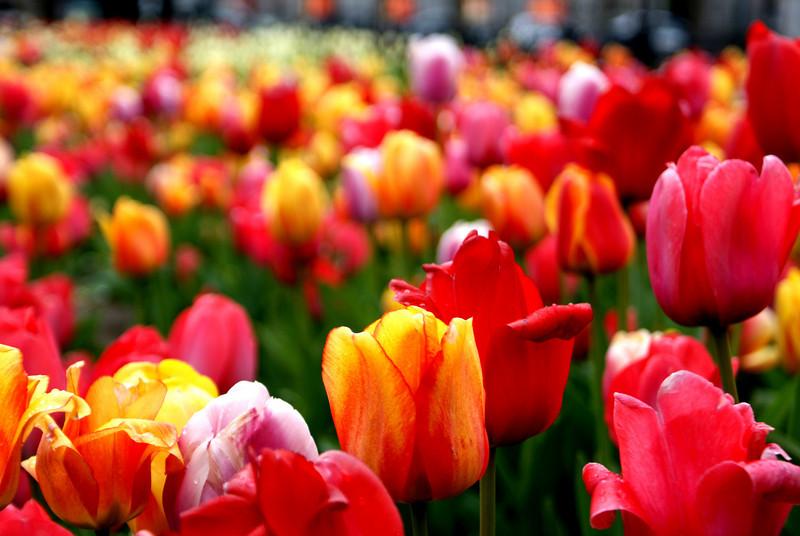 Tulip forrest: