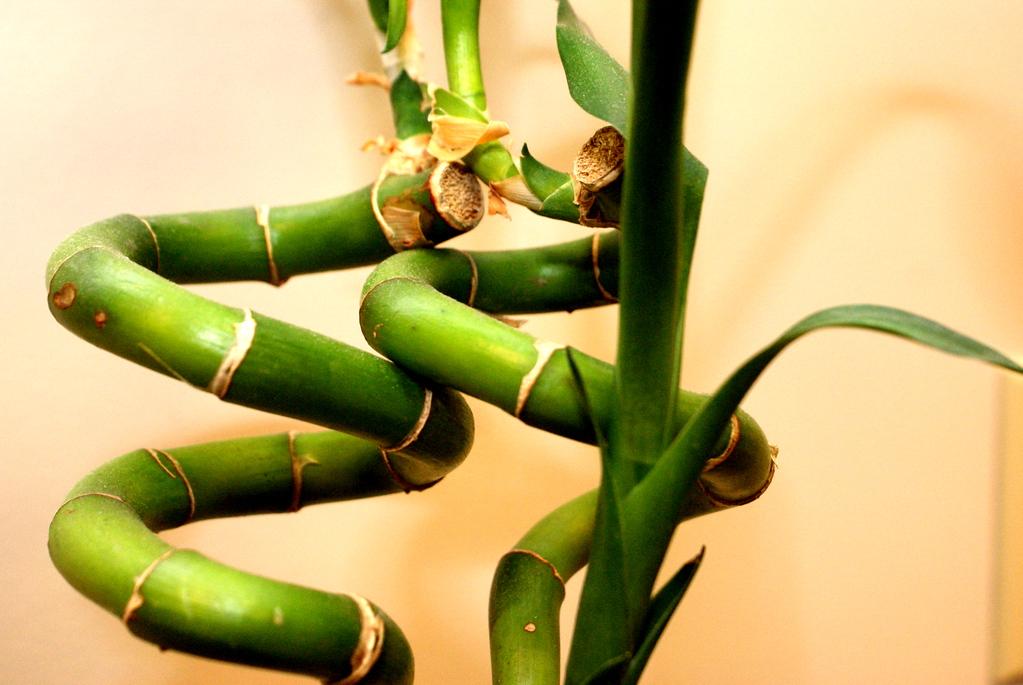Bamboo cork screw