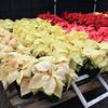Carlsbad Flower Fields 2011