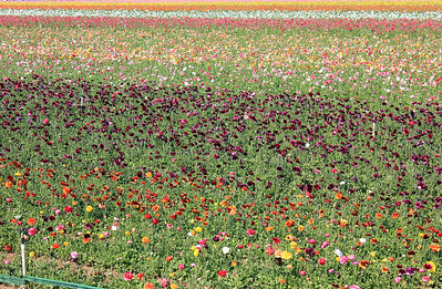 Flower Fields - Carlsbad, CA - 2011