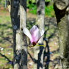 "The one and only ""JAPANESE MAGNOLIA"" on the bark of the tree in our back yard  (photo taken 3/29/2014)"