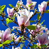 """JAPANESE MAGNOLIAS"" in our back yard  (photo taken 3/29/2014)"