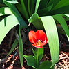 April 2, 2011  TULIP in our flowerbed - see next three photos