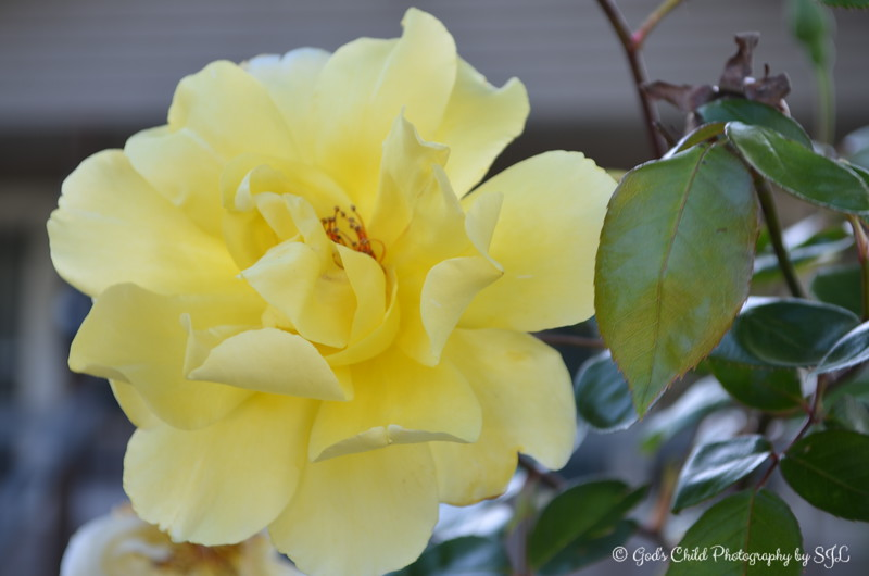 "April 20, 2013  A yellow ROSE photographed in the front yard of a residence in Lake Village, AR  ""Be a rose which gives fragrance, even to those who crush it. ~ Author Unknown"