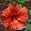 "June 26, 2015<br /> <br /> ""ORANGE HIBISCUS"" at a Residence (see previous photo)"