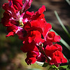 "April 20, 2015<br /> <br /> ""SNAPPY SNAPDRAGONS""<br /> <br /> ""Treat everyone with politeness, even those who are rude to you - not because they are nice, but because you are."" ~ Author Unknown<br /> <br /> Photographed in the same front yard as yesterday's photo - without flash. If you review yesterday's photo, you will see a glimpse of this flower in the background. <br /> <br /> My Homepage:  <a href=""http://www.GodsChild.SmugMug.com"">http://www.GodsChild.SmugMug.com</a>"