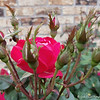 "April 21, 2018<br /> <br /> ""ROSES AND ROSE BUDS""<br /> <br /> Flowerbed<br /> Our House<br /> <br /> My Homepage:  <a href=""http://www.GodsChild.SmugMug.com"">http://www.GodsChild.SmugMug.com</a>"
