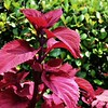 """VELVET RED COLEUS LEAVES""<br /> <br />  ""Much education today is monumentally ineffective.  All too often we are giving young people cut flowers when we should be teaching them to grow their own plants."" ~ John W. Gardner<br /> <br /> We were there to eat - NOT gamble - thank you!<br /> <br /> Ameristar Casino <br /> 4116 Washington Street<br /> Vicksburg, MS<br /> <br /> (photo taken 7/13/2014)<br /> <br /> My Homepage: <a href=""http://www.Godschild.smugmug.com"">http://www.Godschild.smugmug.com</a>"