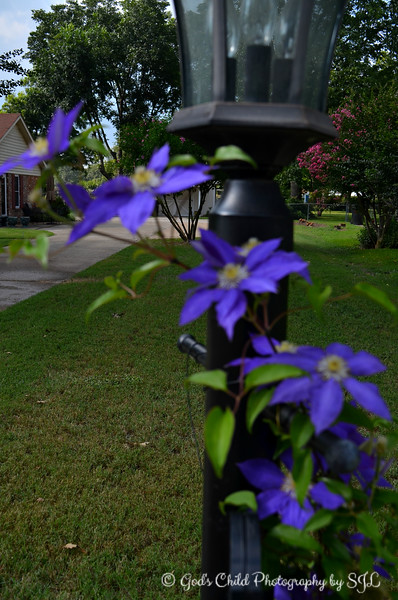 """PURPLE CLEMATIS VINE""<br /> <br /> ""I think it pisses God off if you walk by the color purple in a field somewhere and don't notice it."" ~ Alice Walker, excerpt from ""The Color Purple""<br /> <br /> Slightly blurred and out of focus? I know. This is the only shot I took of these cascading clematises in a neighborhood adjacent to ours. It's not the best clarity, but I (emphasis on ""I"") like the colors and perspective. I contemplated returning to the home and retaking the photo, but I didn't feel like leaving back out once I arrived home. Besides, my photos don't have to be perfect for me to post them. Sometimes, the experience is more important than the outcome.<br /> <br /> (photo taken 7/23/2014)<br /> <br /> My Homepage: <a href=""http://www.Godschild.smugmug.com"">http://www.Godschild.smugmug.com</a>"