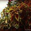 "July 13, 2014<br /> <br /> ""COLEUS LEAVES""<br /> <br /> Outlets at Vicksburg <br /> Vicksburg, MS<br /> <br /> (photo taken 7/13/2014)"