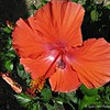 "June 9, 2016<br /> <br /> HIBISCUS<br /> <br /> Whenever I see hibiscus flowers, I always think of fellow SmugMugger Art Hill. He is one of the quintessential photographers of this flower. I always desire that my hibiscus flower photo passes the ""Art Hill"" test:).<br /> <br /> My Homepage:  <a href=""http://www.GodsChild.SmugMug.com"">http://www.GodsChild.SmugMug.com</a>"