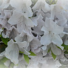 """Saturday, August 8, 2015<br /> <br /> """"WHITE OUT""""<br /> <br /> """"I like perfume and flowers."""" ~ Donatella Versace<br /> <br /> Azaleas not only say, """"Welcome,"""" but they are also the essential Southern plant. We have two short bushes in our back yard that produces beautiful hot pink azaleas year after year.<br /> <br /> Pentacostal Lighthouse Church<br /> <br /> (photo taken and PM's Frost effect applied on 4/21/2015)<br /> <br /> My Homepage:  <a href=""""http://www.GodsChild.SmugMug.com"""">http://www.GodsChild.SmugMug.com</a>"""