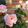 "April 19, 2018<br /> <br /> ""ROSES""<br /> <br /> ""Flowers are the Romeos and the Juliets of nature!"" ~ Mehmet Murat İldan<br /> <br /> Our Next Door Neighbor's Yard<br /> <br /> My Homepage:  <a href=""http://www.GodsChild.SmugMug.com"">http://www.GodsChild.SmugMug.com</a>"