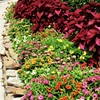 "July 13, 2014<br /> <br /> ""COLEUS LEAVES AND PROFUSION ZINNIAS""<br /> <br /> We were there to eat - NOT gamble - thank you!<br /> <br /> Ameristar Casino <br /> 4116 Washington Street<br /> Vicksburg, MS"