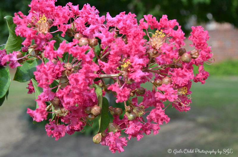 """July 22, 2017<br /> <br /> CREPE MYRTLE (on a tree in our backyard)<br /> <br /> My Homepage:  <a href=""""http://www.GodsChild.SmugMug.com"""">http://www.GodsChild.SmugMug.com</a>"""