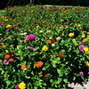 "August 20, 2014<br /> <br /> ""Field of Zinnias"" in our city"