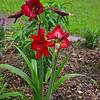 "May 11, 2015<br /> <br /> ""LILIES"" at a home in Cloverdale"