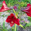 """April 12, 2017<br /> <br /> """"TIGER LILIES""""<br /> <br /> Flowerbed in the front yard of a residence<br /> <br /> Greenville, MS<br /> <br /> My Homepage:  <a href=""""http://www.GodsChild.SmugMug.com"""">http://www.GodsChild.SmugMug.com</a>"""