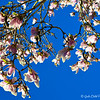 """March 3, 2018<br /> <br /> """"JAPANESE MAGNOLIAS""""<br /> <br /> Signs of spring? A tree in our back yard produces these blooms every year. The tree was in full bloom!! They smelled decadent, too!<br /> <br /> My Homepage:  <a href=""""http://www.GodsChild.SmugMug.com"""">http://www.GodsChild.SmugMug.com</a>"""